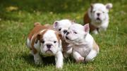 Pure bred English Bulldog puppies