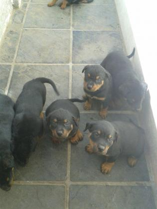 Beautiful strong & healthy males and females Rottweiler puppies