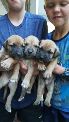 Boerboel Puppies in Vereeniging, Gauteng