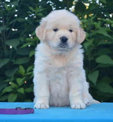 Health Guarantee Golden Retrievers Puppies