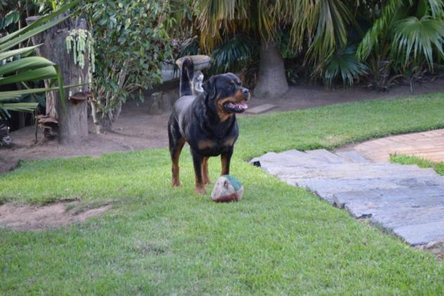 KUSA Registered Rottweiler Puppies