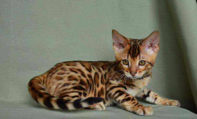 Very playful and loving Bengal Kittens