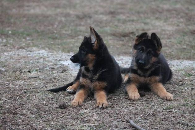 World Class German Shepherd Working Bloodlines.