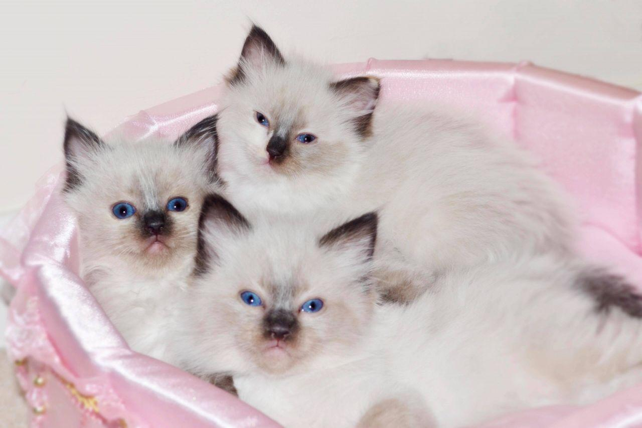 Affectionate 3 Beautiful Ragdoll kittens For Sale | Mitchells ...