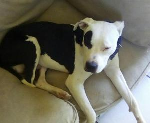 Carver and blue line pitbull male