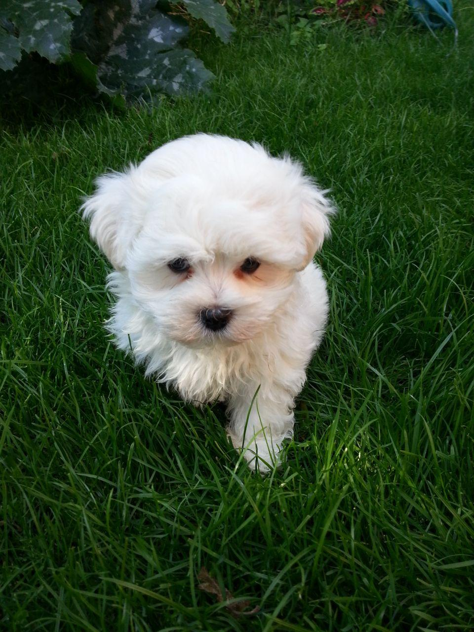 Maltese puppies for sale | New Zealand