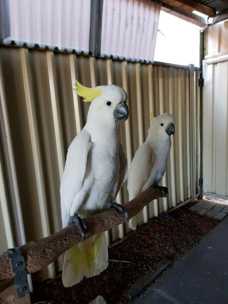 Sulphur Crested Cockatoo for sale | Berea | Public Ads