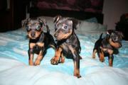 8 Weeks Old Miniature Pinscher Puppies