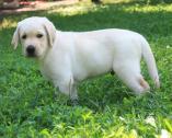 Champion bloodlines labrador retriever puppies