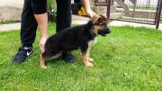 excellent german shepherd pupps
