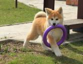 great temperament akita puppies