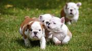 Shalom English Bulldog Puppies