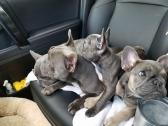 Stunning Rare Blue Frenchies Puppies
