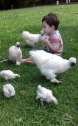 WHITE SILKIES CHICKENS FOR SALE!