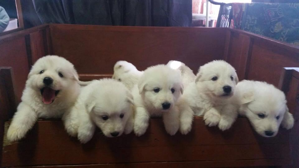 White Swiss Shepherd Puppies Ready Johannesburg Public Ads White