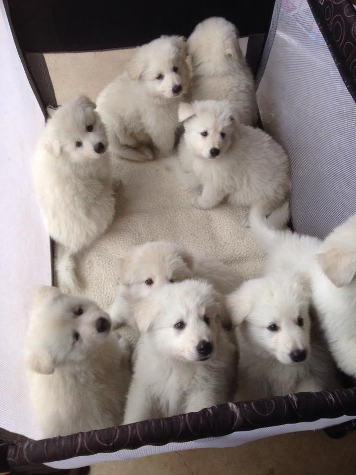 White Swiss Shepherd Puppies Ready Johannesburg Public