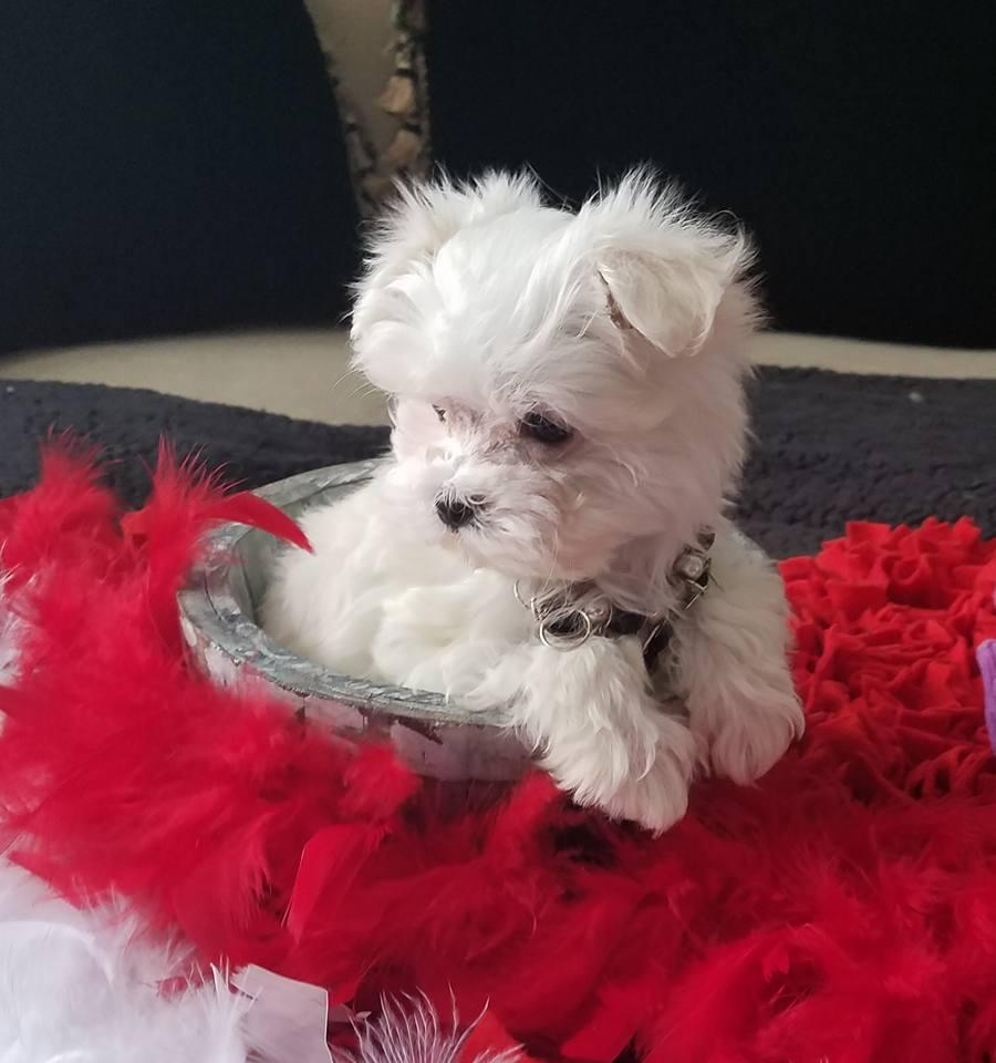 Adorable Teacup Maltese Puppies | Northcliff Dogs ...