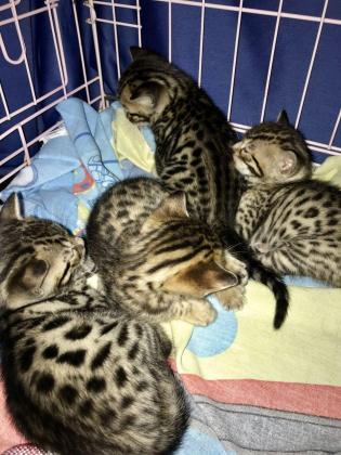 Active Bengal Kittens
