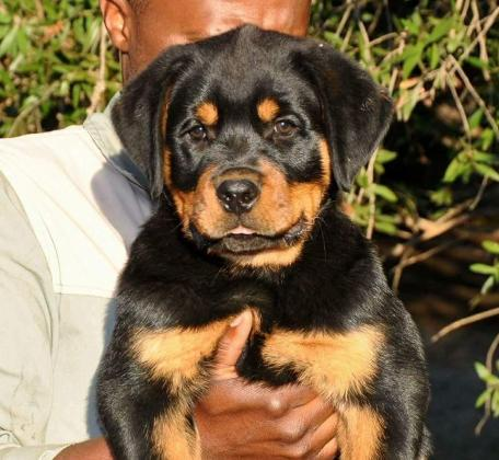 Beautifull BIG head Rotties available from R8000 in Other Western Cape, Western Cape
