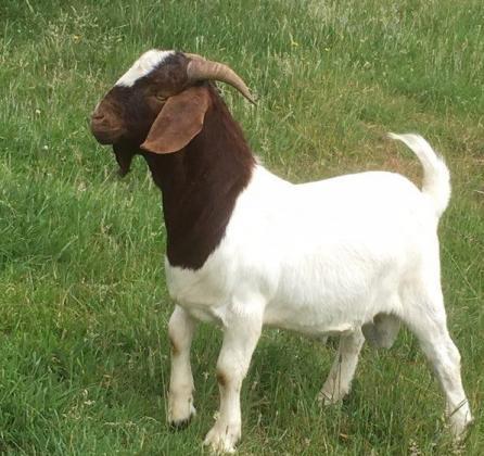 Boer goats for sale in Ladysmith, KwaZulu-Natal