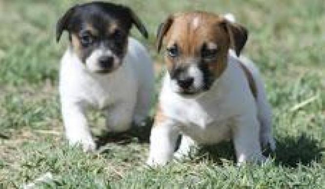 jack russell puppy for sale in Johannesburg, Gauteng