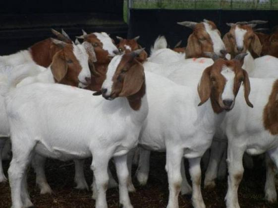 Purebreed Boer Goats for sale +27838574624