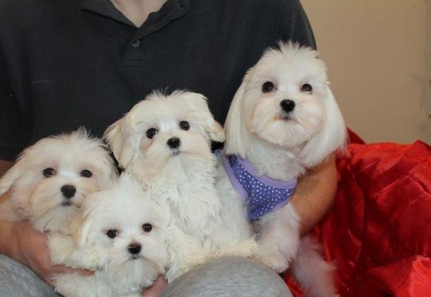 Quality Kusa Reg Maltese Puppies Ready To Leave Now