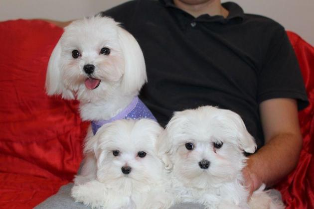 Quality Kusa Reg Maltese Puppies Ready To Leave Now in Johannesburg, Gauteng
