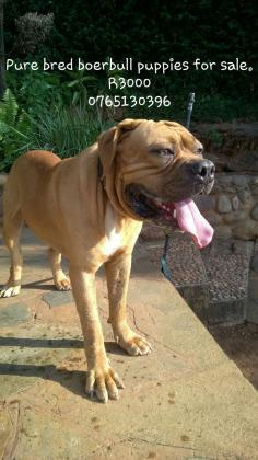 Boerboel Pups For Sale