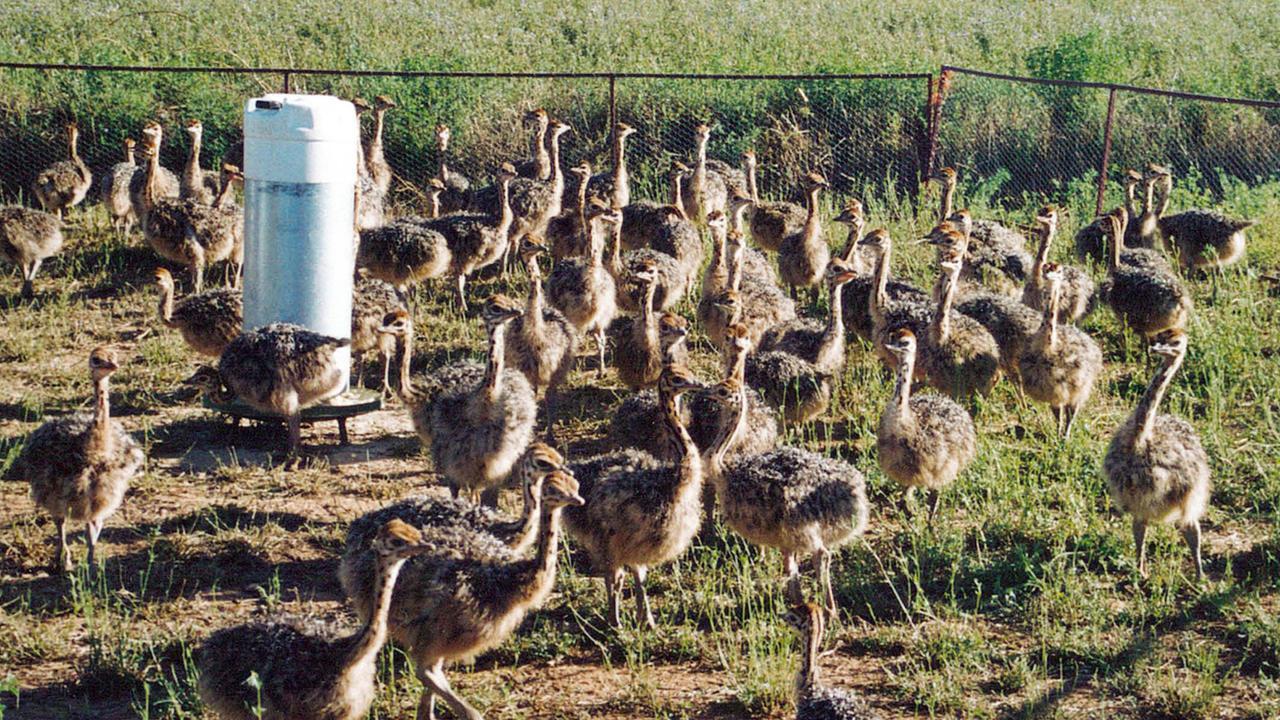 855dece42ec Healthy Emu , ostrich chicks, hatching eggs | Bronkhorstspruit ...