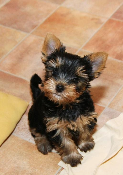Pure Breed Yorkshire Terrier For