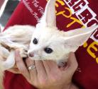 Awesome Fennec foxes for sale. (Potty Trained)
