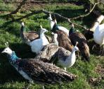 Beautiful Male and Female  Peafowl Very friendly.