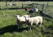 Ewes and Rams sheep +2783 485 4194