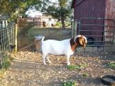 Purebreed Boer Goats