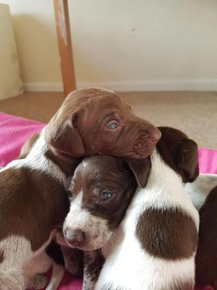 6 beautiful Shorthaired Pointer Puppies