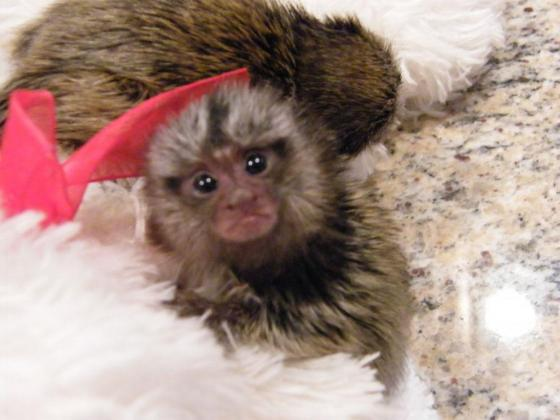 BABIES POCKET MONKEYS ( MARMOSET )
