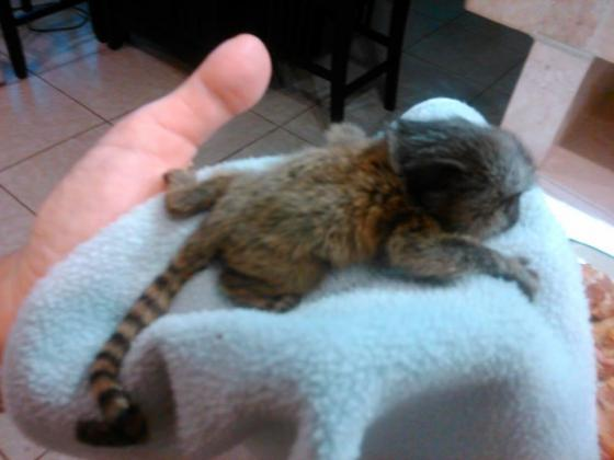 Beautiful Marmoset Monkey Available to Good homes in Welkom, Free State
