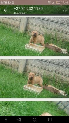 Char pei puppys