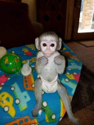 Green vervet monkey for adoption