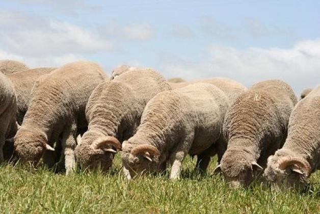 Sheep available +2783 485 4194