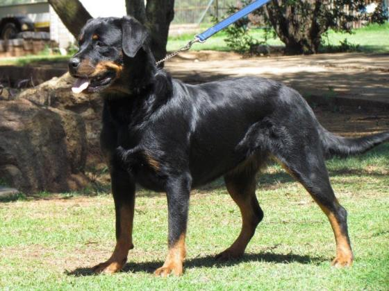 Stunning KUSA registered Large Breed Rottweiler pups