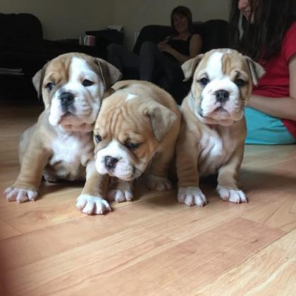 Stunning registered British bulldog puppies
