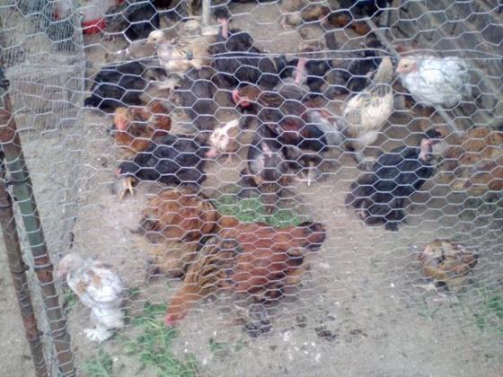chickens in Boksburg, Gauteng