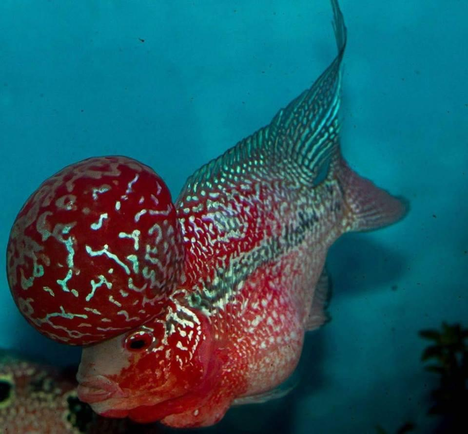 Flowerhorns for sale, Baby and aduts | Durban | Public Ads ...