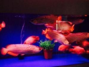 Arowana Fishes for sale
