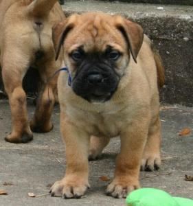 Bullmastiff puppies ready forever home