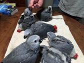 beautiful handraised parrots and  fresh laid parrots eggs