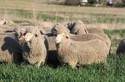 Merino sheep +2783 485 4194