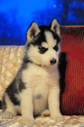 awesome Husky Puppies
